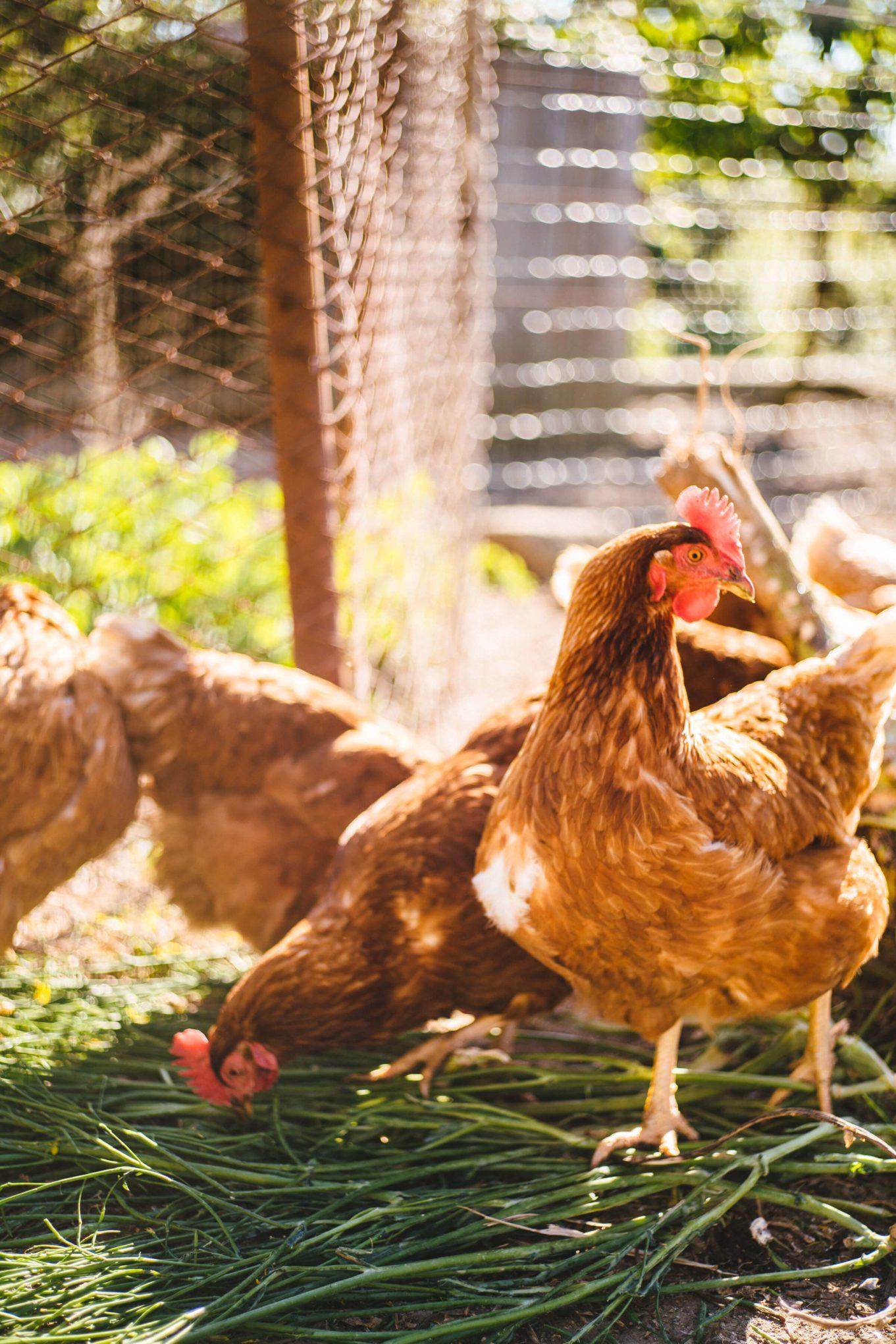chickens at da gelsomina restaurant in capri, italy, the taste edit