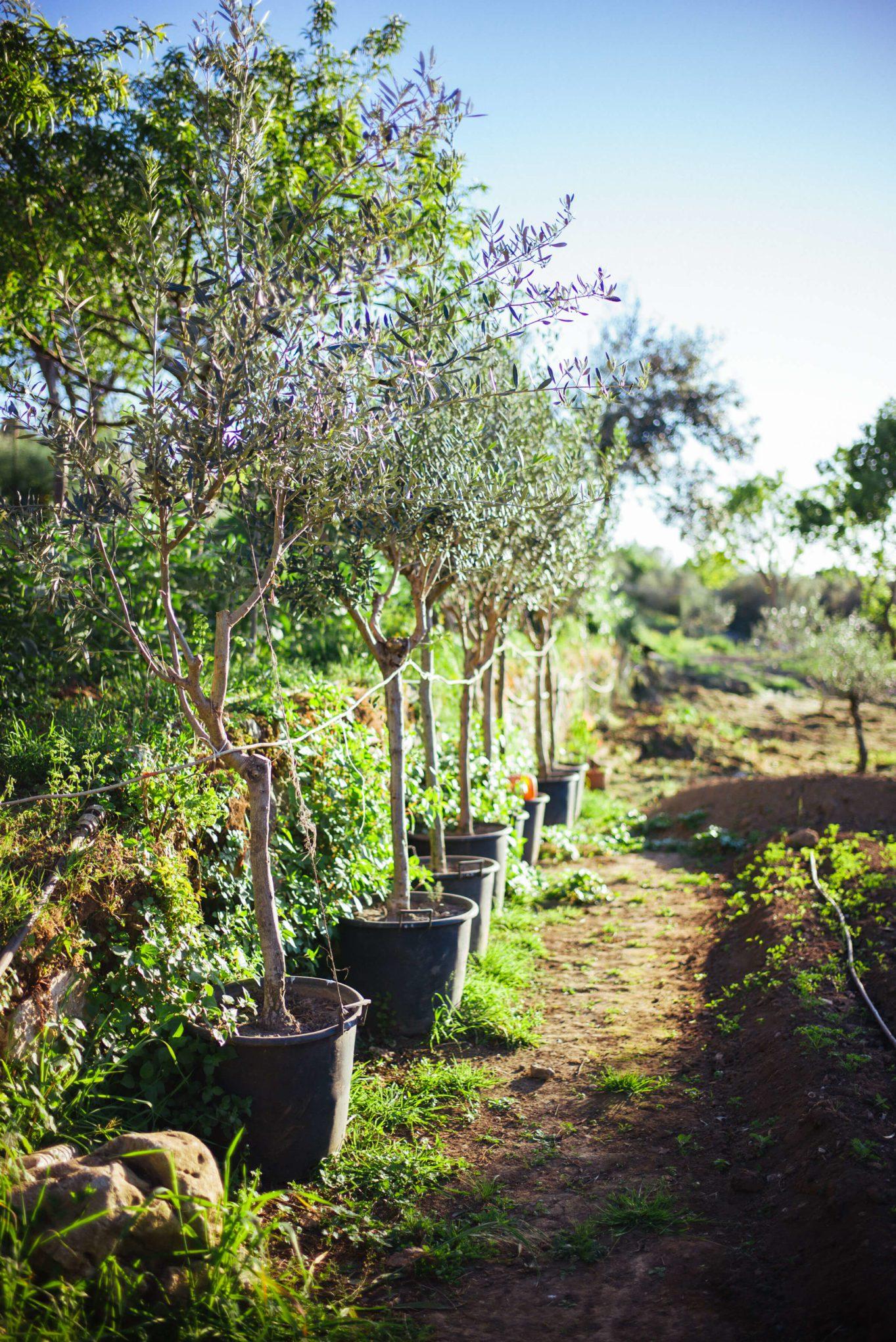 Olive Trees in the garden at Hotel Caesar Augustus in Capri, The Taste SF