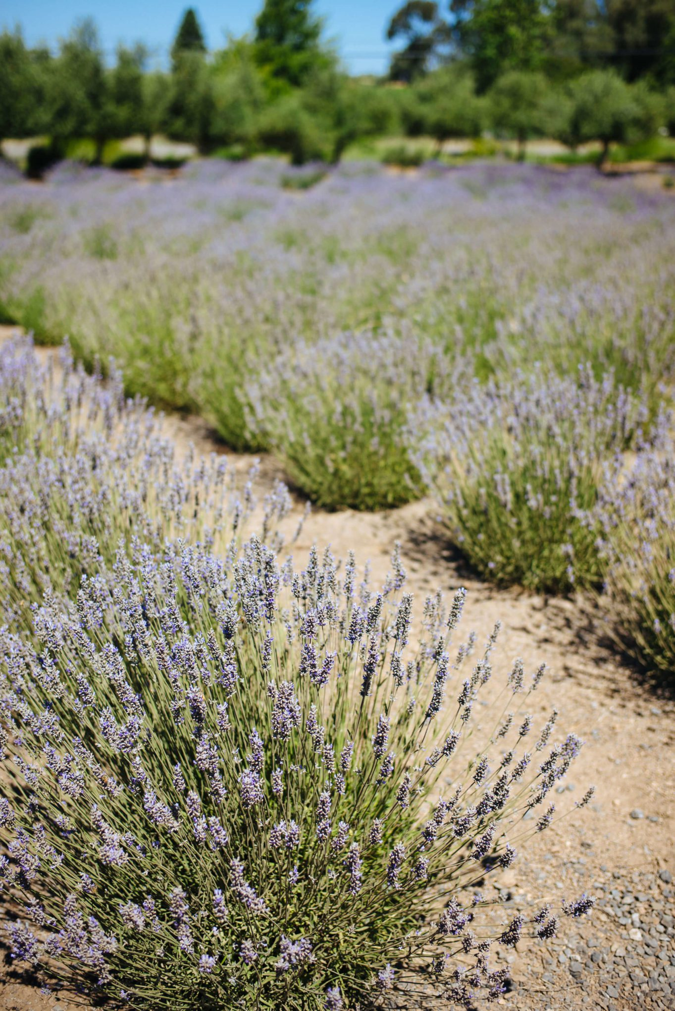 The Taste Edit visits the lavender fields with buzzing bees at manzanita in santa rosa sonoma