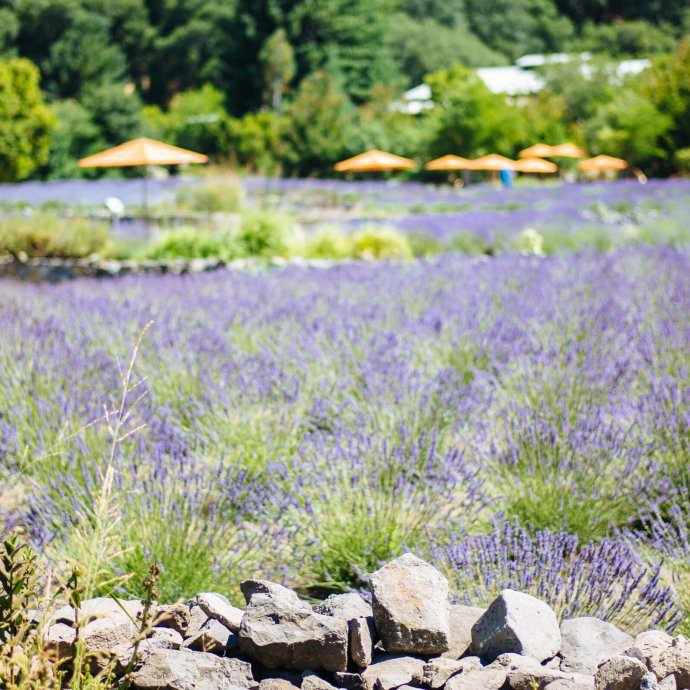 The lavender fields at manzanita in santa rosa sonoma is the perfect day trip from San Francisco - The Taste SF