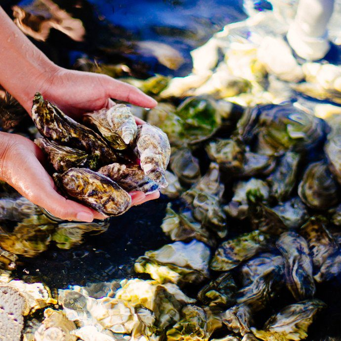 One of the only hotels in the United States who is raising their own oysters is the Four Seasons Hualalai to serve at their restaurants in Kona Hawaii, The Taste Edit