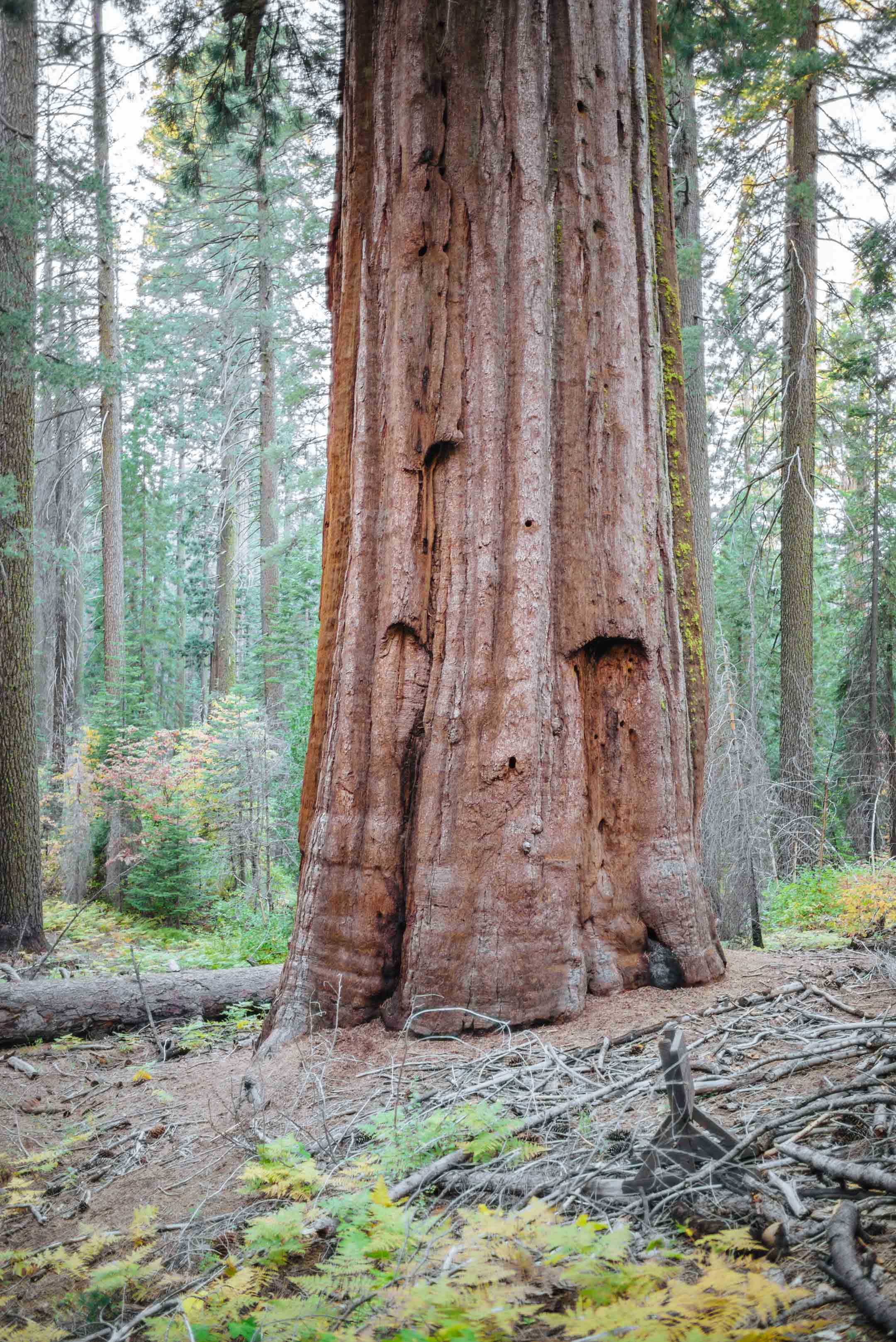 Visit Tuolumne Grove of Giant Sequoias in Yosemite National Park